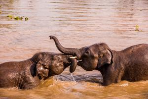 Baby elephants playing in the river, Chitwan Elephant Sanctuary, Nepal, Asia by Laura Grier