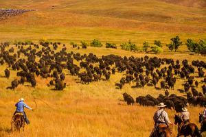 Buffalo Round Up, Custer State Park, Black Hills, South Dakota, United States of America by Laura Grier