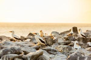 Nazca boobies, Espanola Island, Galapagos Islands, Ecuador, South America by Laura Grier
