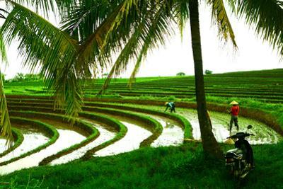 Terraced Rice Paddy in Ubud, Bali, Indonesia, Southeast Asia, Asia by Laura Grier