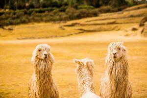 Three Llamas, Sacsayhuaman Ruins, Cusco, Peru, South America by Laura Grier