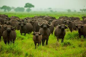 Water Buffalo Standoff on Safari, Mizumi Safari Park, Tanzania, East Africa, Africa by Laura Grier