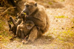 Wild Baboons, Cape Town, South Africa, Africa by Laura Grier
