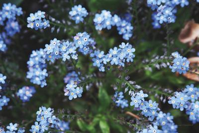 Forget Me Nots IV
