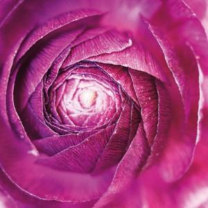 Ranunculus Abstract I Color by Laura Marshall