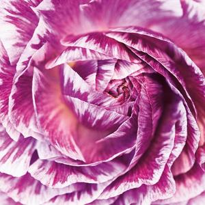 Ranunculus Abstract IV Color by Laura Marshall