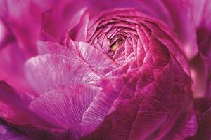Ranunculus Abstract V Color by Laura Marshall