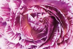 Ranunculus Abstract VI Color by Laura Marshall