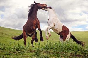 Two Geldings Playing in Pasture by Laura Palazzolo