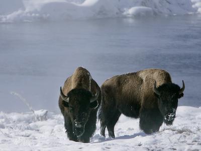Norton Yellowstone