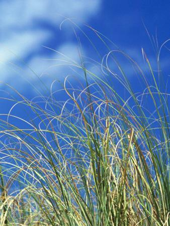 Dune Grass, Florida Keys