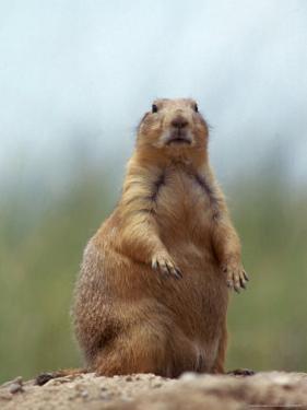 Prairie Dog by Lauree Feldman