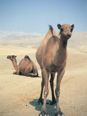 Two Camels by Lauree Feldman