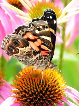 Butterfly on flower in New Hampshire by Lauren Hull