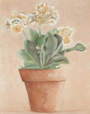 Auricula Blanche by Laurence David