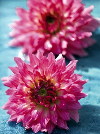 Dahlias by Laurence Mouton