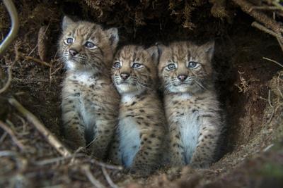 European Lynx (Lynx Lynx) Kittens In Den