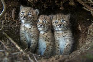 European Lynx (Lynx Lynx) Kittens In Den by Laurent Geslin