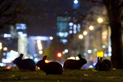 European Rabbits (Oryctolagus Cuniculus) at Night Near L'Arc De Triomphe, Paris, France