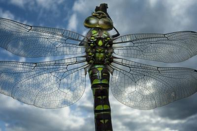 Female Emperor Dragonfly (Anax Imperator) Close-Up, on Twig Above Water with Clouds Reflected