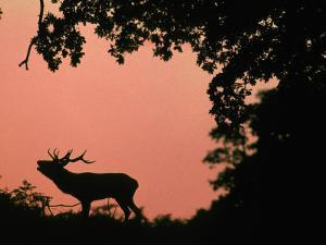 Red Deer Stag Calling at Sunset, New Forest, Hampshire, England by Laurent Geslin