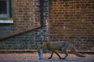 Urban Fox (Vulpes Vulpes) in London by Laurent Geslin