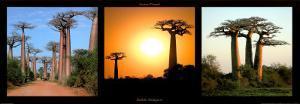 Baobas Madagascar by Laurent Pinsard