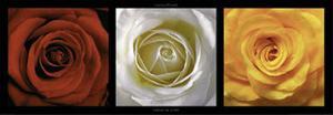 Coeurs de Roses by Laurent Pinsard