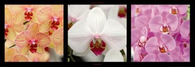 Orchids by Laurent Pinsard