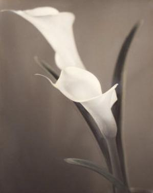 Callas by Laurie Eastwood