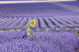 Lavandin Lavender with Single Sunflower