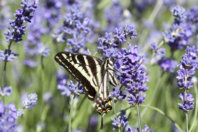 https://imgc.allpostersimages.com/img/posters/lavender-and-butterfly-ii_u-L-Q10PZ2C0.jpg?p=0