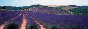 Lavender and Corn Fields in Summer, Provence-Alpes-Cote D'Azur, France