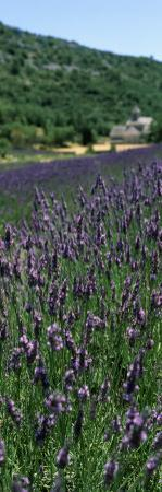 Lavender Crop with Monastery in Background, Abbaye De Senanque, Provence-Alpes-Cote D'Azur, France