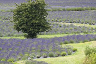 https://imgc.allpostersimages.com/img/posters/lavender-field-and-tree_u-L-Q10PZOS0.jpg?artPerspective=n