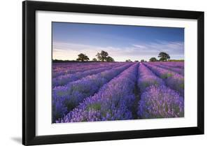 Lavender Field at Dawn  Somerset  England. Summer (July)