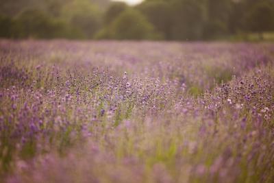 https://imgc.allpostersimages.com/img/posters/lavender-field-close-to-detmold-in-east-westphalia_u-L-Q1EXLQ70.jpg?artPerspective=n