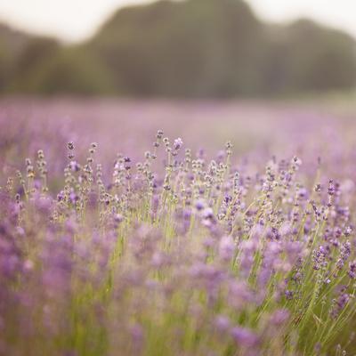 https://imgc.allpostersimages.com/img/posters/lavender-field-close-to-detmold-in-east-westphalia_u-L-Q1EXO2I0.jpg?artPerspective=n