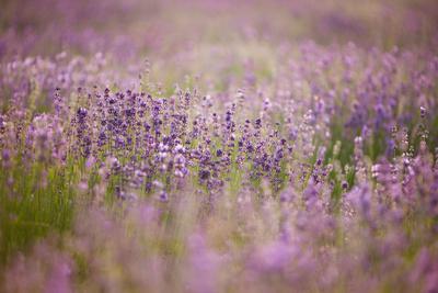 https://imgc.allpostersimages.com/img/posters/lavender-field-close-to-detmold-in-east-westphalia_u-L-Q1EXOIR0.jpg?artPerspective=n