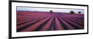 Lavender Field, Fragrant Flowers, Valensole, Provence, France
