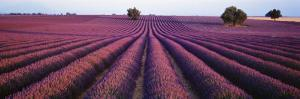 Lavender Field, Fragrant Flowers, Valensole, Provence, France