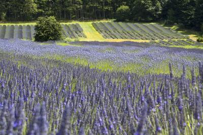 https://imgc.allpostersimages.com/img/posters/lavender-field-ii_u-L-Q10PZV00.jpg?p=0
