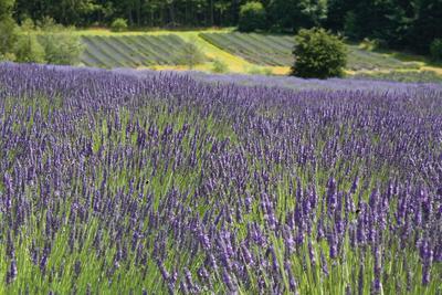 https://imgc.allpostersimages.com/img/posters/lavender-field-iii_u-L-Q10PZWT0.jpg?p=0