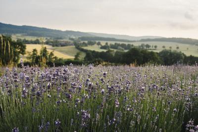 https://imgc.allpostersimages.com/img/posters/lavender-field-in-detmold_u-L-Q1EXKCG0.jpg?artPerspective=n