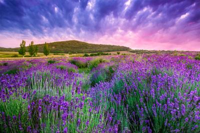 Lavender Field Tihany Hungary