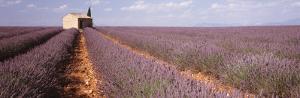 Lavender Field, Valensole Province, France