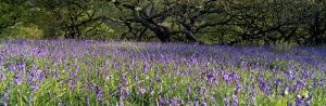 Lavender Flowers in a Field, England, United Kingdom