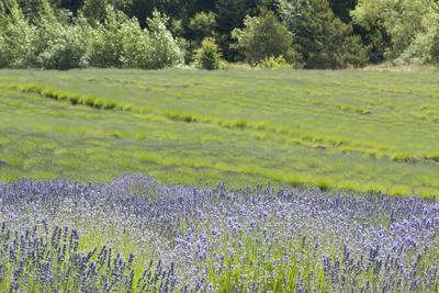 https://imgc.allpostersimages.com/img/posters/lavender-hill-ii_u-L-Q10PZSN0.jpg?p=0