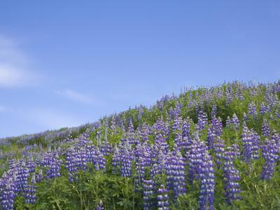 https://imgc.allpostersimages.com/img/posters/lavender-on-the-meadow-iceland_u-L-PHAGN10.jpg?artPerspective=n