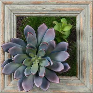Lavender Succulent Square - Barnwood Sage